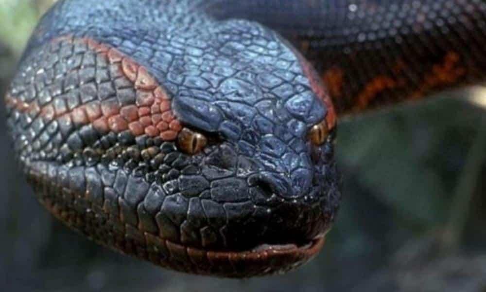 Big black anaconda