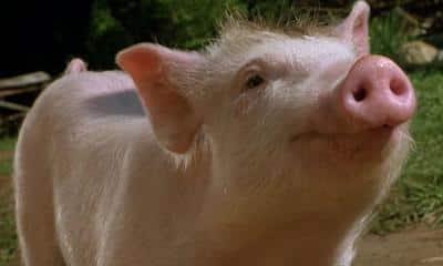 chinese flu pigs