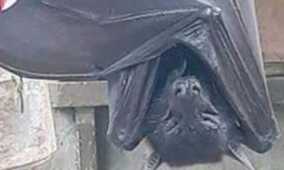 human sized bat